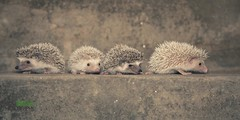 Cuatro hermanos. (Pablin79) Tags: pet animal digital canon puppy eos reflex little brothers bokeh 5d hedgehog erizo misiones posadas markii erinaceinae canoneos5dmarkii 5dmkii pabloreinschphotography