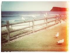 The sea gulls of Lennox head (YAZMDG (16,000 images)) Tags: lennoxhead nsw australia northernrivers seagulls beach headland fence grass birds