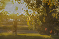 Dog Walker (Karen McQuilkin) Tags: dogwalker tree eveninglight honeylotus yellow fall