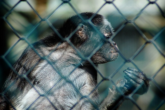 Monkey behind wire fence