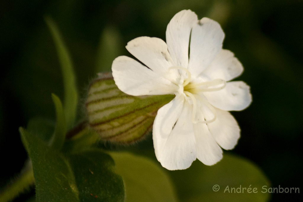 White Campion (Silene latifolia)-4.jpg