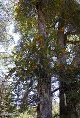 Quintral amarillo, Desmaria mutabilis parasitando un Coihue, Nothofagus dombeyi (Chilebosque) Tags: amarillo mutabilis loranthaceae quintral parsitas desmariamutabilis desmaria