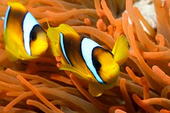 Amphiprion bicinctus (Joao Pedro Silva) Tags: orange yellow gold redsea sharmelsheikh liveaboard commensalism amphiprionbicinctus