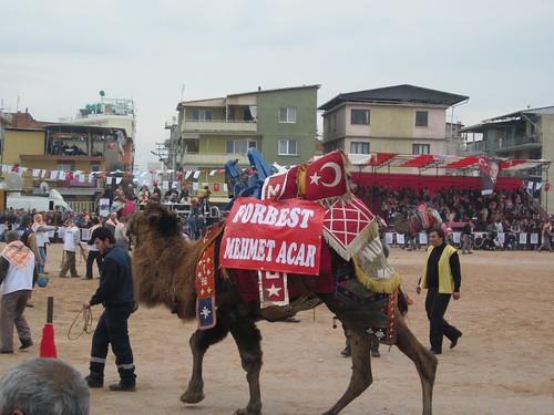 Camel fights in Izmir