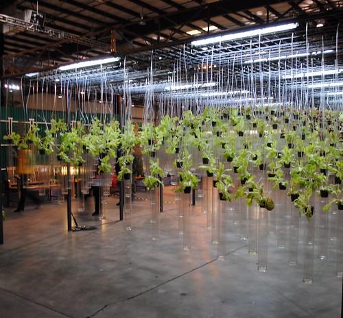 UC Berkely Hydroponic Lettuce Garden