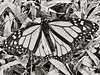 Male Monarch Butterfly Charcoal Drawing 001 (Chrisser) Tags: ontario canada nature photoshop butterfly insect butterflies insects monarch charcoaldrawings olympuscamediac765