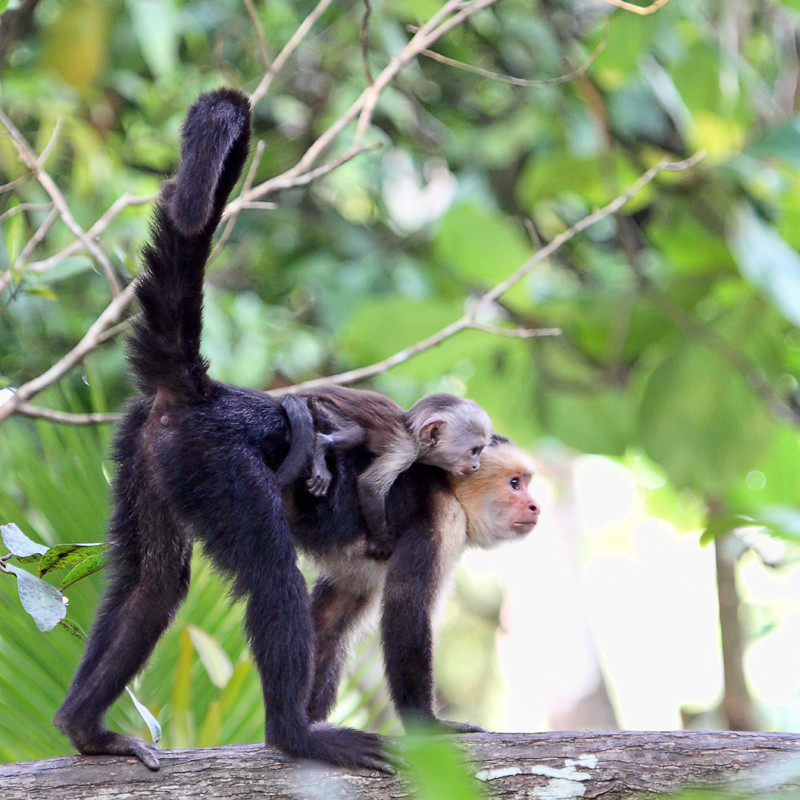 Capuchin Monkey with Baby in the Forest