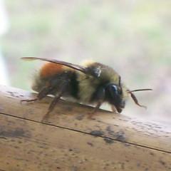 Elderly bumblebee