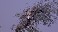 Egyptian Vulture in the Thar Desert in Sindh, Pakistan - January 2011