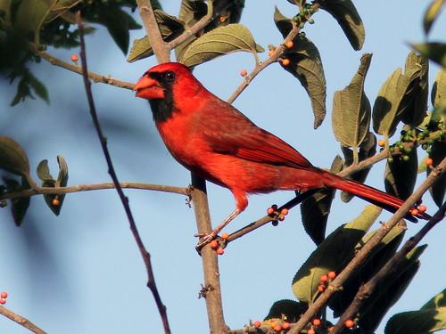 Northern Cardinal 20110408