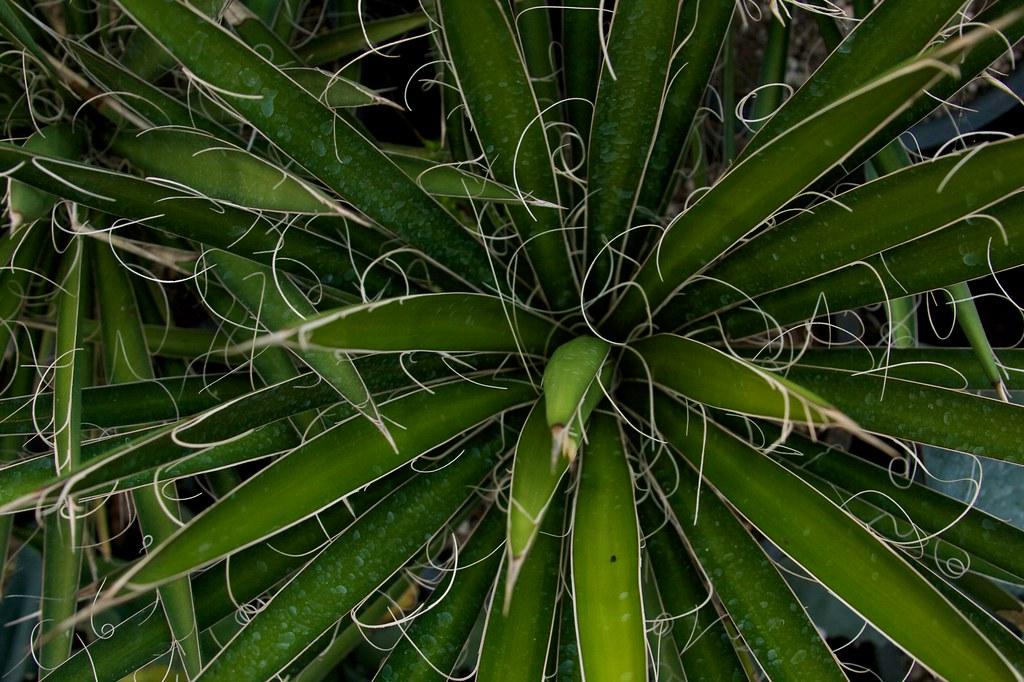 yucca  064