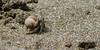 Hermit crab (belgobreizh) Tags: hermitcrab island vacances nationalpark costarica novembre corcovado 2009 isola île parquenacional coenobita bernardlhermite paguro bernardlermite isladelcaño pagure