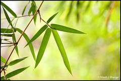 Bamboo Leaves (bnilesh) Tags: india green horizontal forest star leaf bright nobody fresh bamboo backgrounds fengshui indore rectangle tropicalrainforest attheedgeof traditionalorientalculture traditionallyjapanese