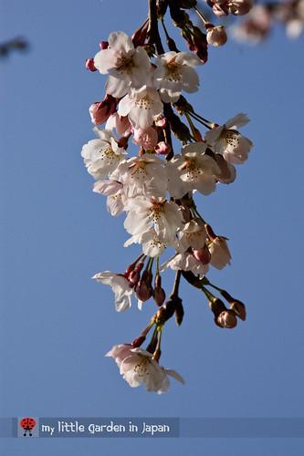 spring-in-tokyo-5