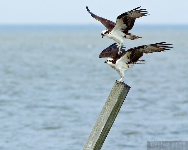 Young Ospreys in Love