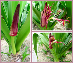 Collage of Crinum asiaticum (Giant/Grand Crinum Lily, Poison Bulb) blooming forth