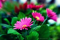 Happiness is made up of  tiny successes! (puthoOr photOgraphy) Tags: flowers flower lensbaby dk lightroom d90 ummsaid adobelightroom qafco lightroom3 amazingqatar lensbabycomposer qafcoflowervegetableshow2011 gettyimagehq
