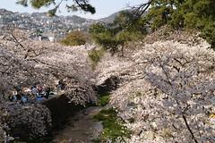 Sakura (Cherry Blossom) @ Shukugawa Park