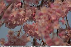 2011-04-14 0470 Sakura, Prunus serrulata, the weeping cherry tree blossoms (Badger 23 / jezevec) Tags: park pink flowers flower tree cherry spring blossom indianapolis blossoms indiana anh bloom  flowering sakura blooms holliday weeping hoa blooming prunus cerezo weepingcherry    kirschblte   jezevec cvijet serrulata shidarezakura prunusserrulata o krsbr   cseresznyevirg japanskt  hoaanho kirsuberjatr badger23 namumulaklak  trenjin    seresang trenjincvijet