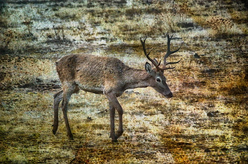 フリー写真素材, 動物, 哺乳類, 鹿・シカ,