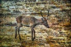 [フリー画像] 動物, 哺乳類, 鹿・シカ, 201104200500