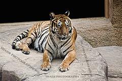 Royal Bengal Tiger (Shajjad Hossain) Tags: royalbengaltiger koreazoo
