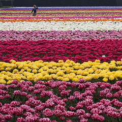 Field Of Colors (DolliaSH) Tags: trip travel flowers holiday holland color tourism canon landscape outdoors photography photo spring topf50 europe foto tour place tulips photos nederland thenetherlands visit location tourist flowerbed journey fields destination traveling agriculture multicolored visiting topf150 lente topf100 70200 touring keukenhof tulpen vividcolors tulipaner zuidholland tulipes tulipn voorjaar lisse tulpaner tulipani southholland bloembollen beautyinnature 50d tulbid dutchflowers tulppaanit visitholland tulipsfields bloemenveld canoneos50d canonef70200mmf4lisusm fieldofcolor tulipny laleta bulbbulbs dollias zeevantulpen dolliash dolliasheombar tulipsmosaic tulipfieldsinholland rainbowregenboog kreurrijk anmazingnetherlands