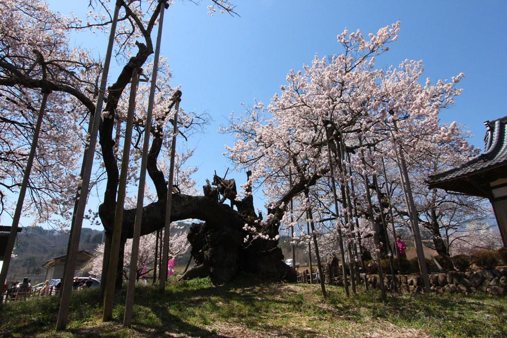 Sakura Photo 2011The Yamadaka Jindai Cherry blossom (13)