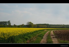 Flowering coleseed field... (crispin52) Tags: nature yellow countryside spring nikon coleseed
