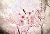 SAKURA SAKU 2011 (y2-hiro) Tags: pink flowers trees japan cherry spring nikon blossoms 15mm 2011 d3s