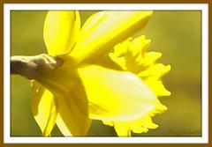 Daffodil (Doug_Hackett) Tags: flower macro sunshine yellow closeup spring pentax daffodil k20d