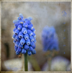 Muscari (bluejay 2006) Tags: flowers blue texture nature fleurs april muscari cs4 coth thankyouall itsawonderfulworld memoriesbook bluejay2006 dragondaggerphoto m