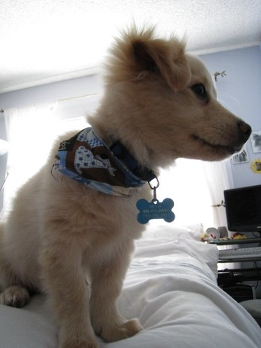 golden retriever mixed with chihuahua. Golden retriever chihuahua mix