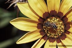 Happy Happy Bee (recaptured) Tags: flower macro yellow nikon stripes bee nikkor f25 105mm d90 magicdonkey explored