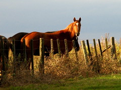 sorrel (Maria Chanourdie) Tags: horses horse argentina landscape caballo caballos buenosaires farm country paisaje land campo estancia tierra