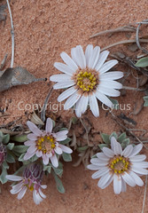 Growing Out of the Sand (Lynn photographing the world) Tags: utah canyonlandsnationalpark needles wildflower