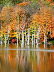 White Trees in Autumn (Stanley Zimny (Thank You for 16 Million views)) Tags: park autumn trees orange white lake reflection tree fall nature water colors leaves automne catchycolors leaf colorful colours seasons natural fallcolors herbst autumncolors fourseasons autunno autumnal colorexplosion 4seasons otono sgis ahorn naturephotos jesien natureimages jesiennie