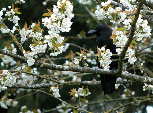 hidden in cherry blossoms
