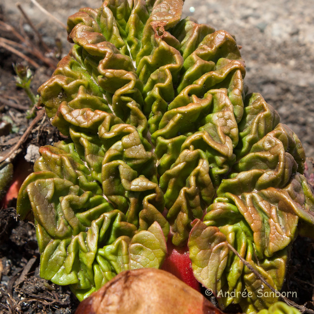 Rhubarb leaves unfolding (7 of 14).jpg