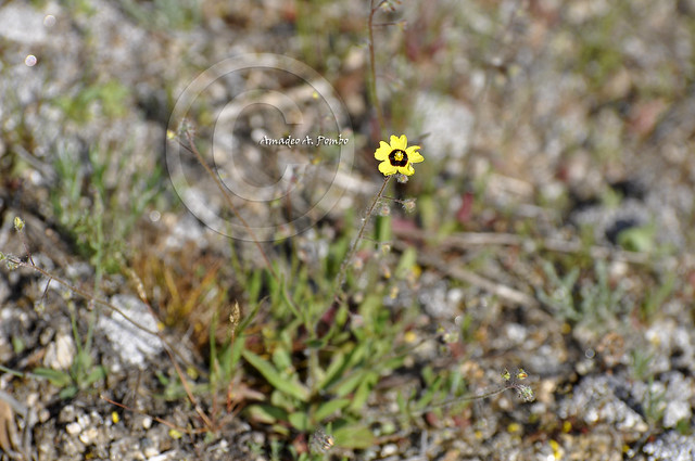 Tuberaria globulariifolia
