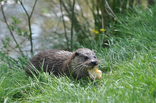 British Wildlife Centre - Otter