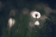 Dandelion (seyed mostafa zamani) Tags: life camera city autumn light white plant news abstract flower color green art home nature colors beautiful beauty field rain start canon garden happy photography photo spring colorful asia artist alone remember photographer iran photos bokeh good d think arts azerbaijan since dandelion east again single memory painter dreams iranian feeling concept conceptual came 450 depth negar grief following role memoirs sense aspirant exhilaration distinguished azarbayjan eos450d a klha marand bvkh