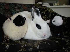 Ella & my 2 new sheep (tammybeck) Tags: cute rabbit bunny sheep konijn conejo stuffedanimals coelho lapin kaninchen coniglio kani 兔 cwningen ウサギ kanin 2011 кролик królik zec κουνέλι thỏ iepure kuneho králík กระต่าย sungura coinín קיניגל