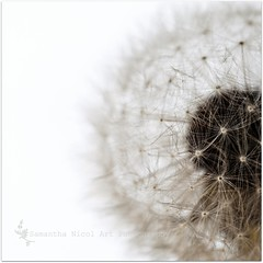 The Same...But Different! (Samantha Nicol Art Photography) Tags: white detail macro art square dof bokeh dandelion crop samantha nicol