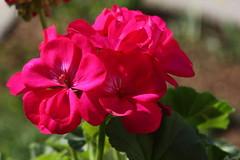 Geraniums on my window (Cobra_11) Tags: pink light sun flower luz sol canon licht flor rosa sunny blume geranium sonnig sonne canoneos ef50mmf18ii iek gne geranio soleado k geranien pembe gneli ef50mm118ii canoneos450d digitalrebelxsi storchschnbel turnagagas