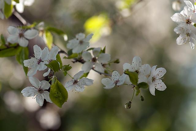 Plommonträd