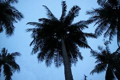 (sensesmaybenumbed) Tags: tree thailand hotel honeymoon palm resort phuket rachayaiisland kohrachayai theracha