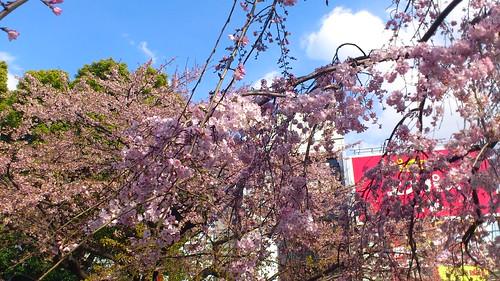 Sakura@Ueno