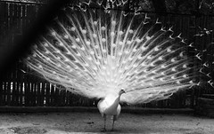 Clicked at Kanpur Zoo, India (Sheet Pangasa) Tags: bw india white black bird beautiful up birds photoshop photography zoo photo interesting intense foto power shot random sony creative peacock cock more national adobe pea dsc h20 kanpur pradesh uttar cs5 interestin dsch20