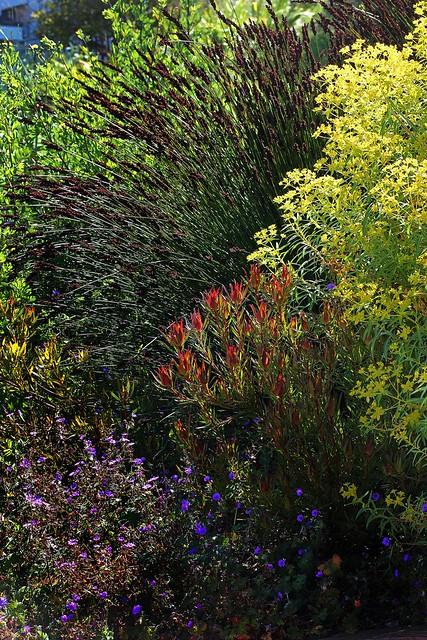 Chondropetalum & Euphorbia Wave Garden